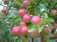 Elma Nın Faydaları