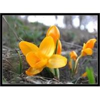 Sarı Çiçek Tarlası