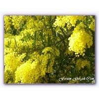 Mimoza Ağacı