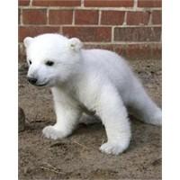 Hoşçakal Knut…