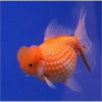 Japon Balıkları Çiftleşmesi