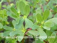 Şifalı Bitki Semizotu