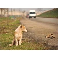 Köpekler Sadece Bekler, Ölüyü Bile…