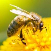 Azalan Arı Ve Kelebekler Endişe Yaratıyor