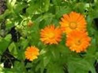 Aynısafa Yağı Ve Bitkisi Cilt Bakımı İçin İdeal