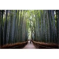 Bambu Ağacının Azmi