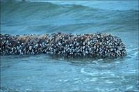 """Korkunç Deniz Canlısı """"barnakle"""""""