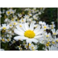 Mis Kokulu Bahar Çiçekleri