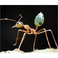 Karıncalar Düşmanlarını Hatırlıyor!