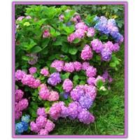Gölgeliklerin Rengarenk Çiçekleri: Ortanca