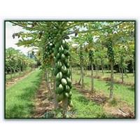 Papaya (Kavun Ağacı)