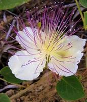 Kapari Çiçeği Çayı & Faydaları