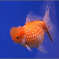 Japon Balığım Suyun Dibinde Duruyor