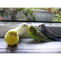Muhabbet Kuşu Hakkında Bilinmesi Gerekenler!!