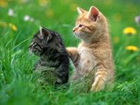 Domuz Gribi Kediye De Bulaştı