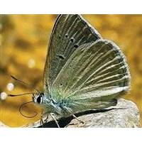 Bu Kelebeği İlk Kez Türk Bilimciler Görüntüledi