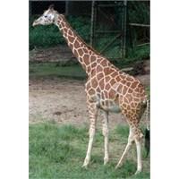 Uzun Diller, Ses Telleri, Zürafa Kulağı