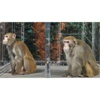 Diyet Yapan Maymunlar Daha Uzun Yaşamıyor