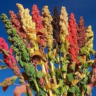 Is Quinoa echt gezond?