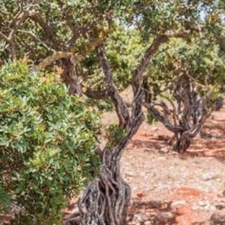 Het verhaal van de mastiha op Chios, Griekenland