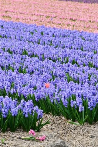 Op pad in eigen land: bloembollenvelden