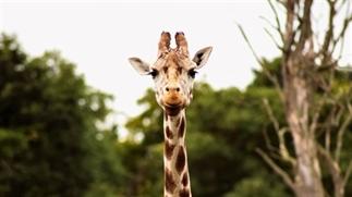 Ontbijten met giraffes