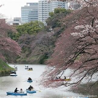Reisverslag: video kersenbloesems in Tokio, Japan