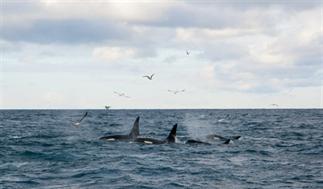 Walvissen en orka's spotten in IJsland