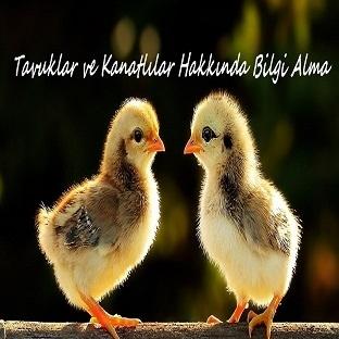 Tavuklar Hakkında Bilgi